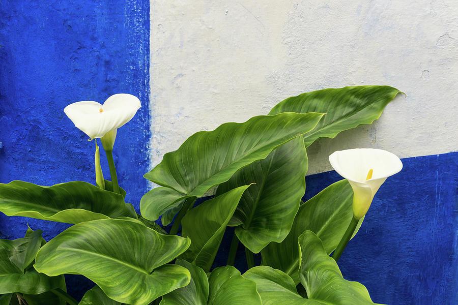 Blue Garden Contrasts - Calla Lilies Against the Wall Left by Georgia Mizuleva