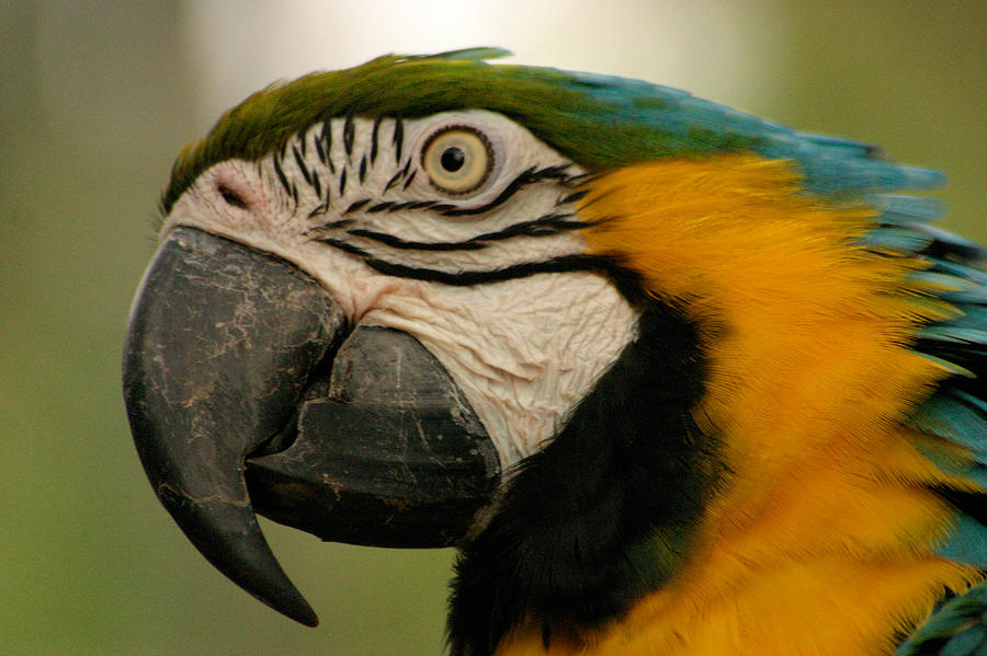Parrot Photograph - Blue Gold Macaw South America by PIXELS  XPOSED Ralph A Ledergerber Photography