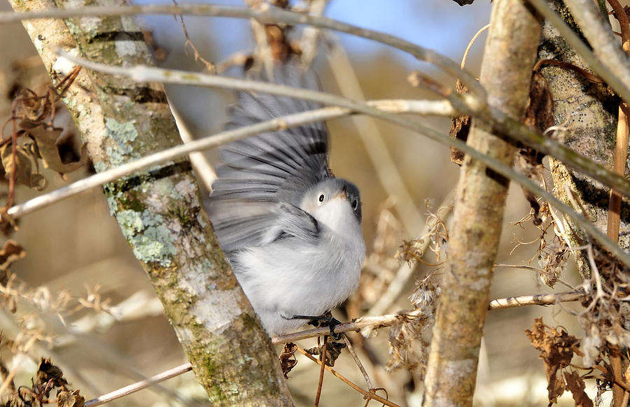 Warbler Photograph - Blue Gray Gnatcatcher by David Lee Thompson