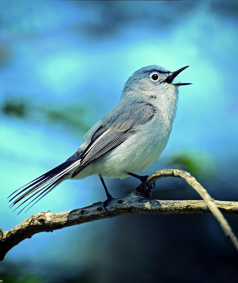 Blue-gray Gnatcatcher by Rodney Campbell