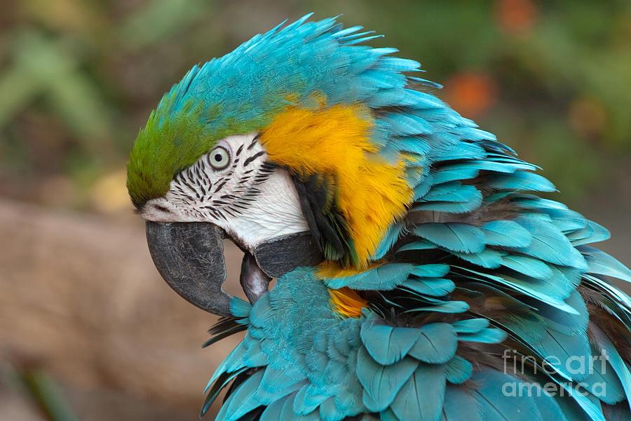 Ara Photograph - Blue-green-yellow Macaw by Svetlana Ledneva-Schukina