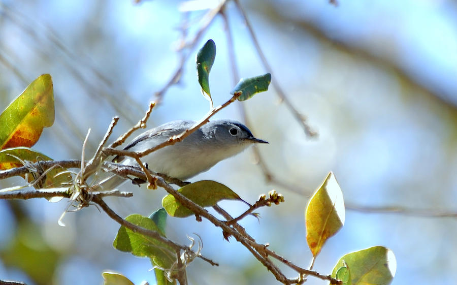 Blue Grey Gnatcatcher Photograph - Blue Grey Gnatcatcher by Steven Scott