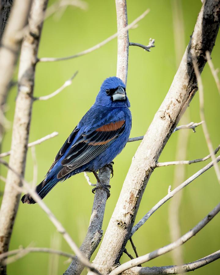 Bird Photograph - Blue Grosbeak by Travis Boyd