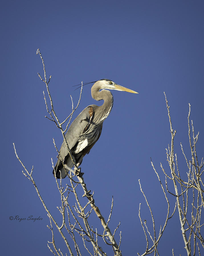 Wild Birds Photograph - Blue Heron 19 by Roger Snyder