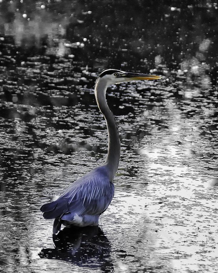 Blue Heron Photograph - Blue Heron 2008 by Joseph Duba
