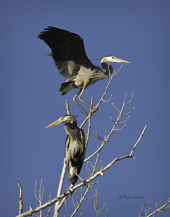 Wild Birds Photograph - Blue Heron 21 by Roger Snyder