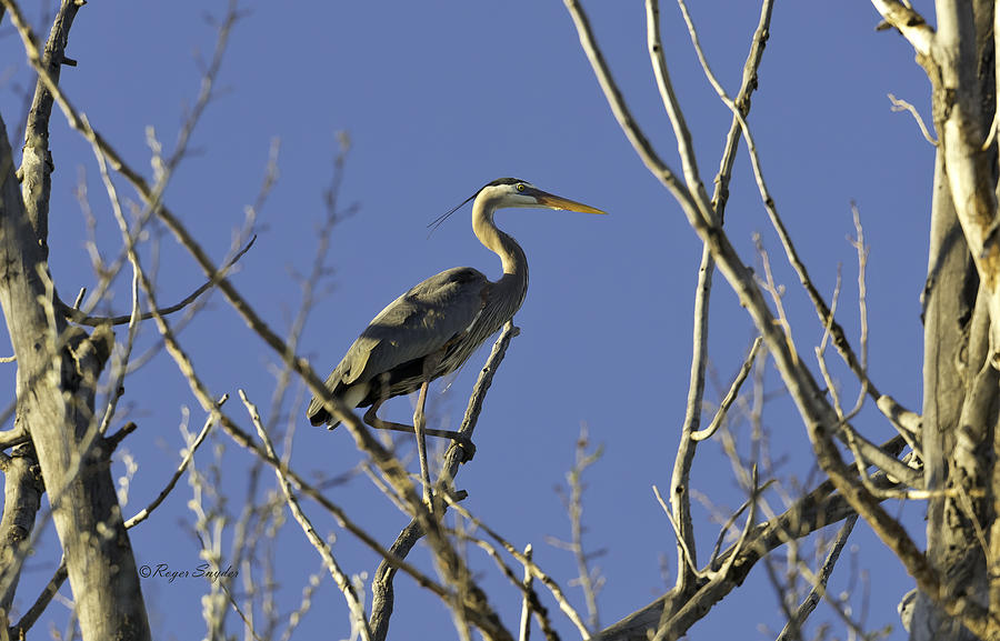 Wild Birds Photograph - Blue Heron 22 by Roger Snyder