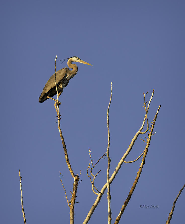 Wild Birds Photograph - Blue Heron 28 by Roger Snyder