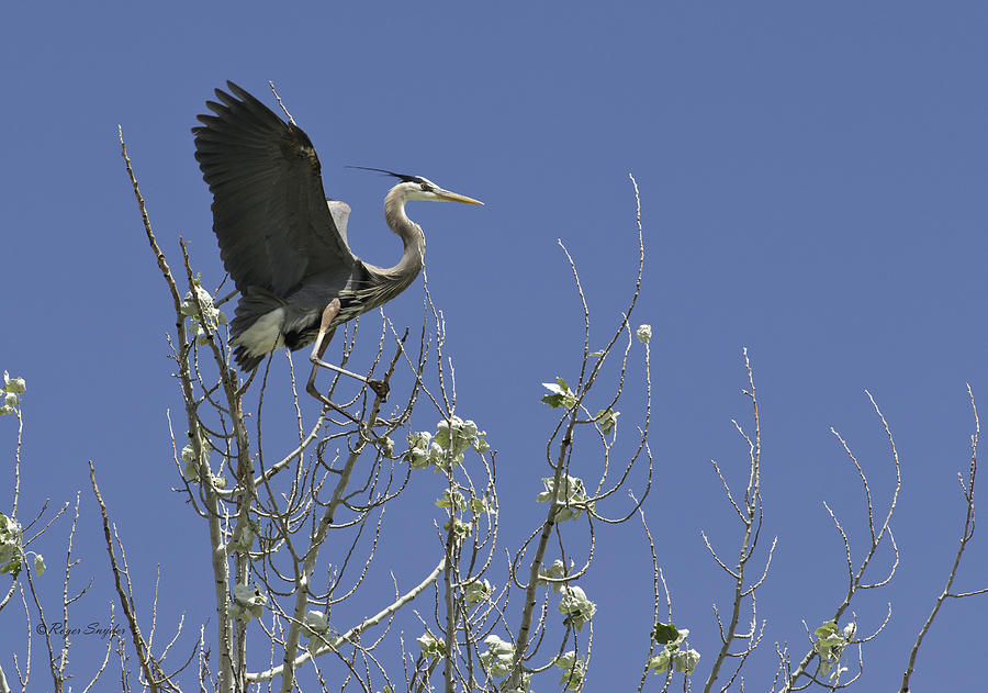 Wild Birds Photograph - Blue Heron 35 by Roger Snyder