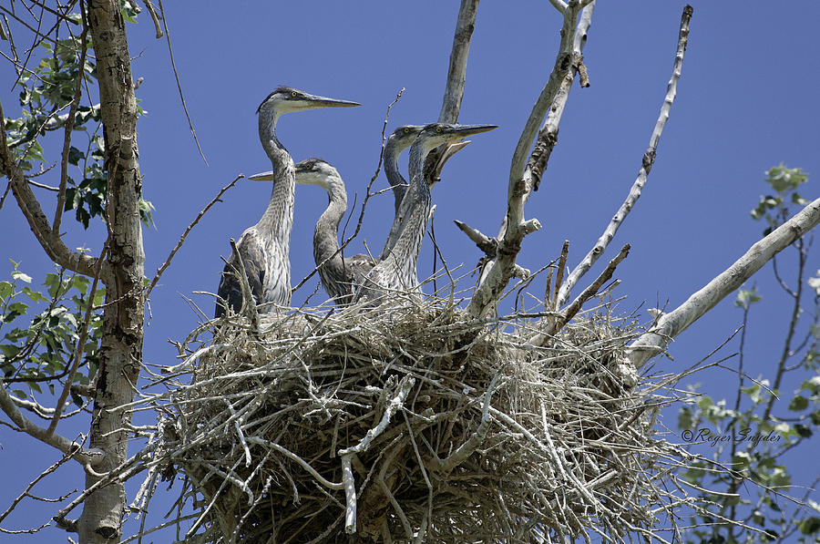 Wild Birds Photograph - Blue Heron 36 by Roger Snyder