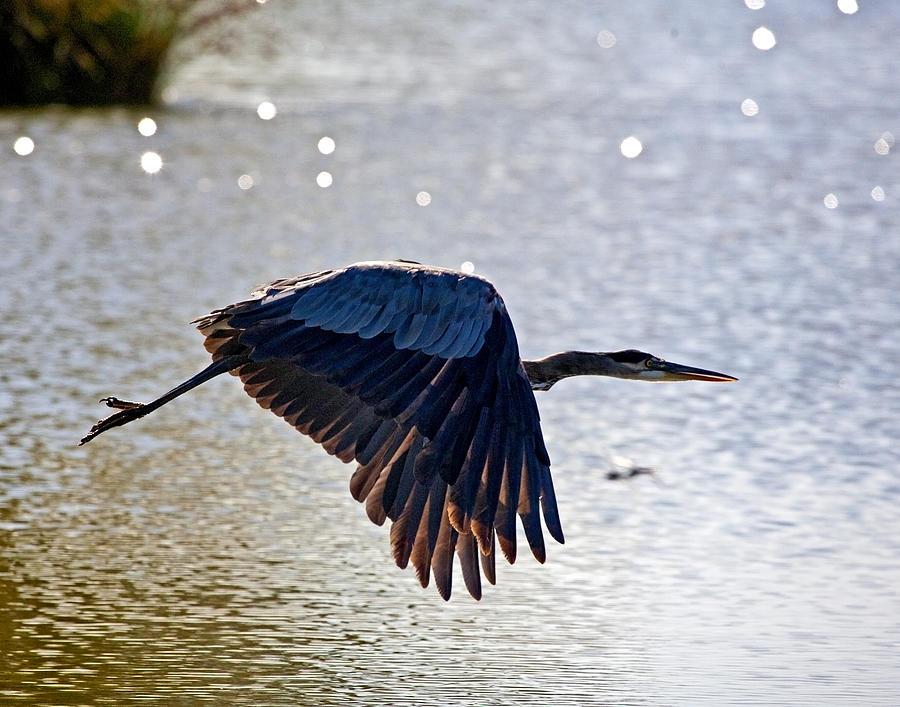 Blue Heron Photograph - Blue Heron Aglow by Charlie Osborn