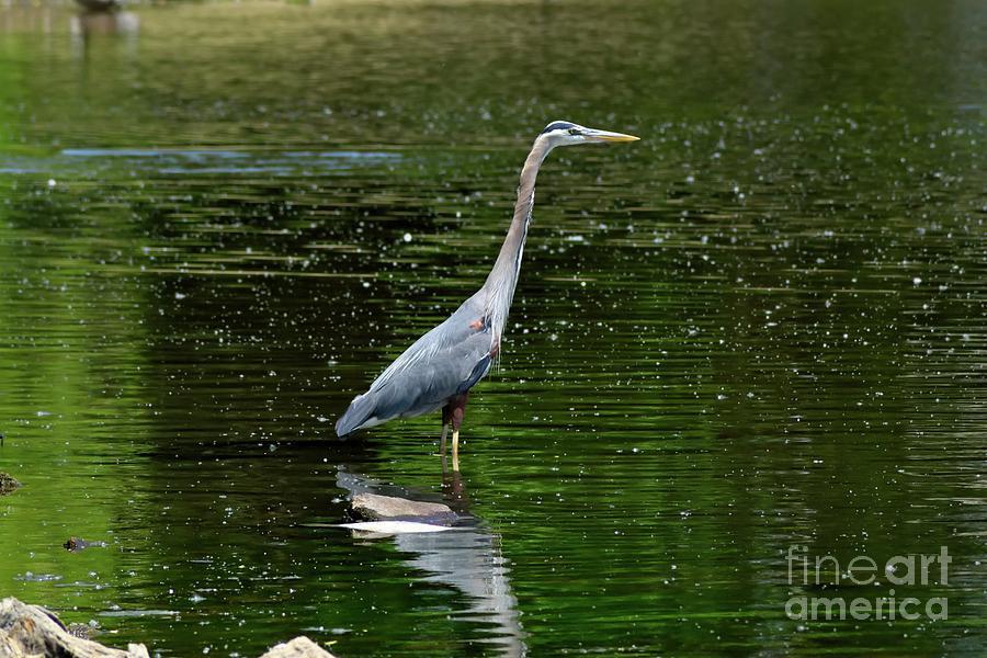Blue Heron Photograph - Blue Heron by Brian Kalbe