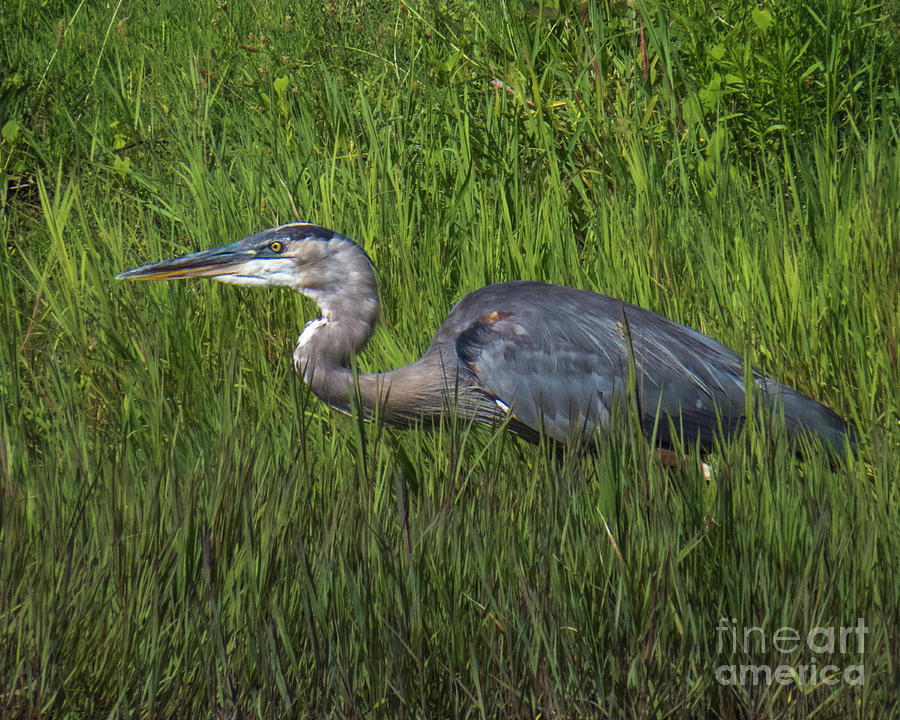 Blue Heron by Christy Garavetto