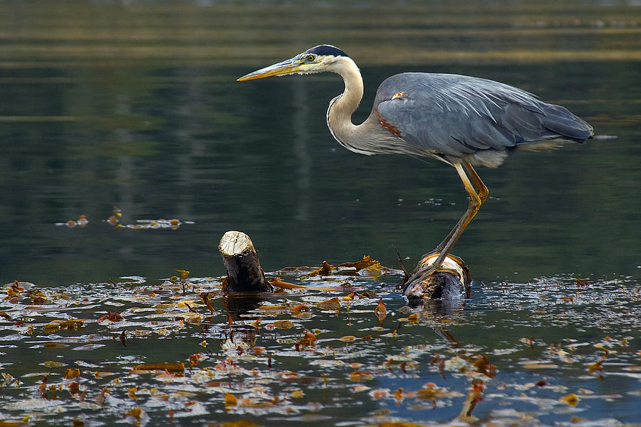 Blue Heron Photograph - Blue Heron by Eyal Nahmias