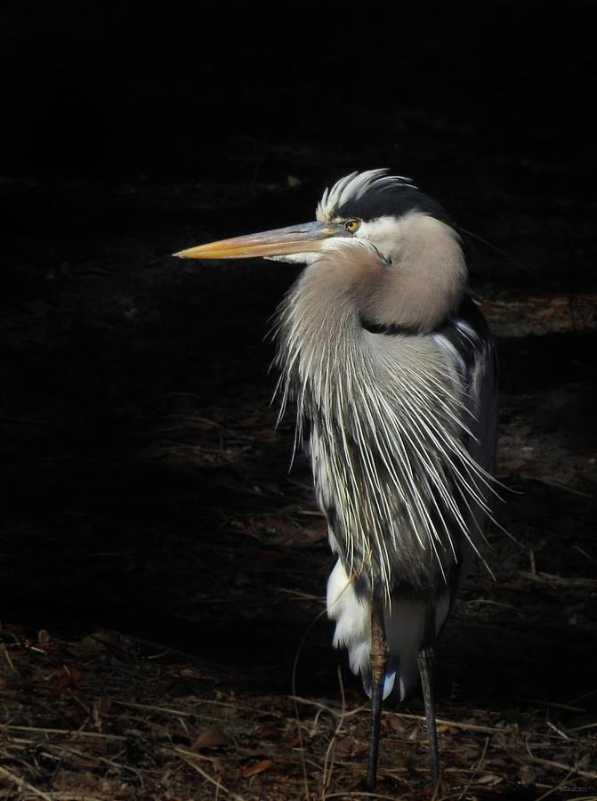 Blue Heron Gaze by Deborah Smith