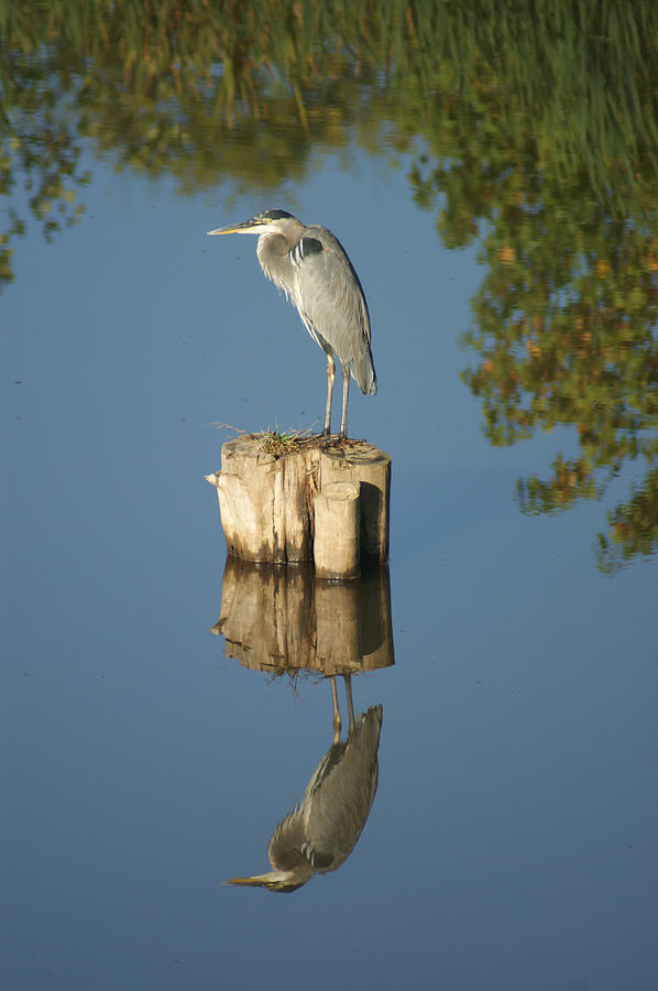 Nature Photograph - Blue Heron by Heidi Poulin