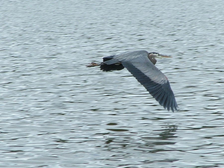 Blue Heron Photograph - Blue Heron In Flight by Nick Gustafson