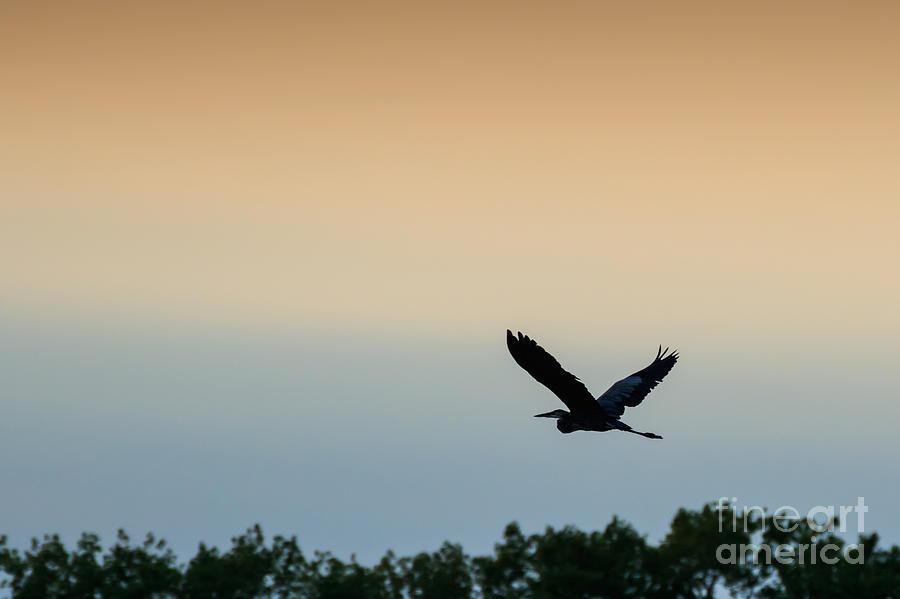 Blue Heron In Flight Photograph