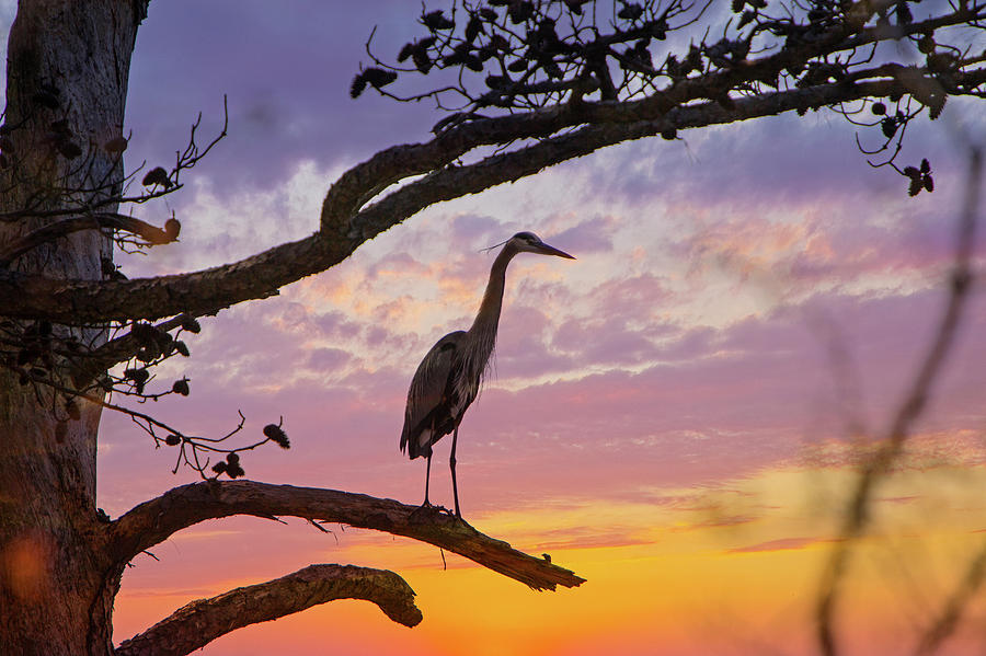 Blue Heron In Tree At Sunset Photograph