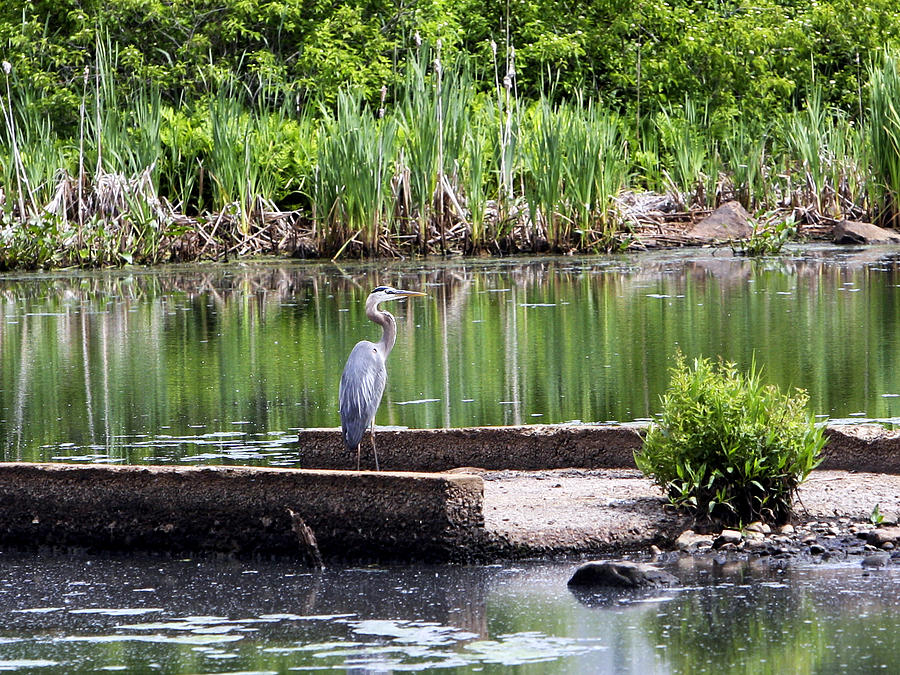 Blue Heron Photograph - Blue Heron On Horn Pond by Pat Lordan