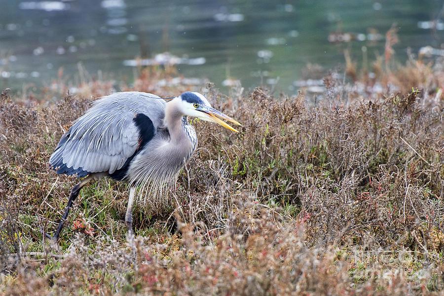 Blue Photograph - Blue Heron On The Hunt by Eddie Yerkish
