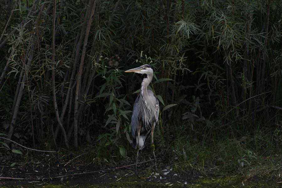 Heron Photograph - Blue Heron on watch by Paulina Roybal