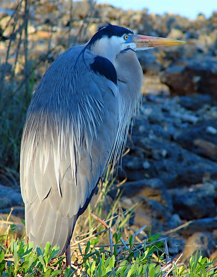 Heron Photograph - Blue Heron Visions by Nada Frazier