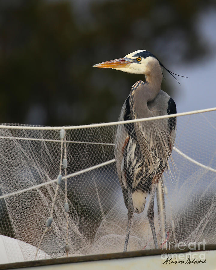 BLUE HERON WITH NET by Alison Salome