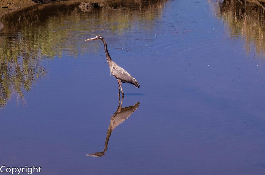 Birds Photograph - Blue Herron Reflection by William Randolph