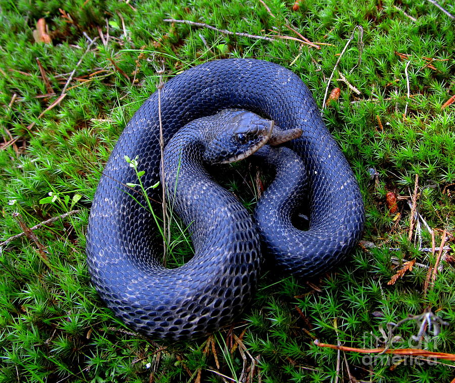 Rare Reptiles Photograph - Blue Hognose by Joshua Bales