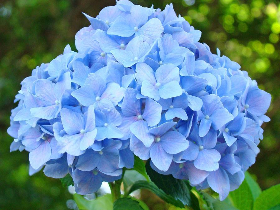 3e08fcf80ee Blue Hydrangea Floral Art Print Hydrangeas Flowers Baslee Troutman ...