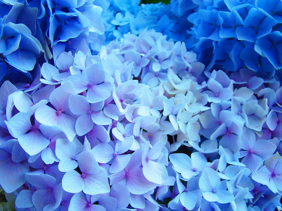 Blue Hydrangea Flowers Art Print Baslee Troutman
