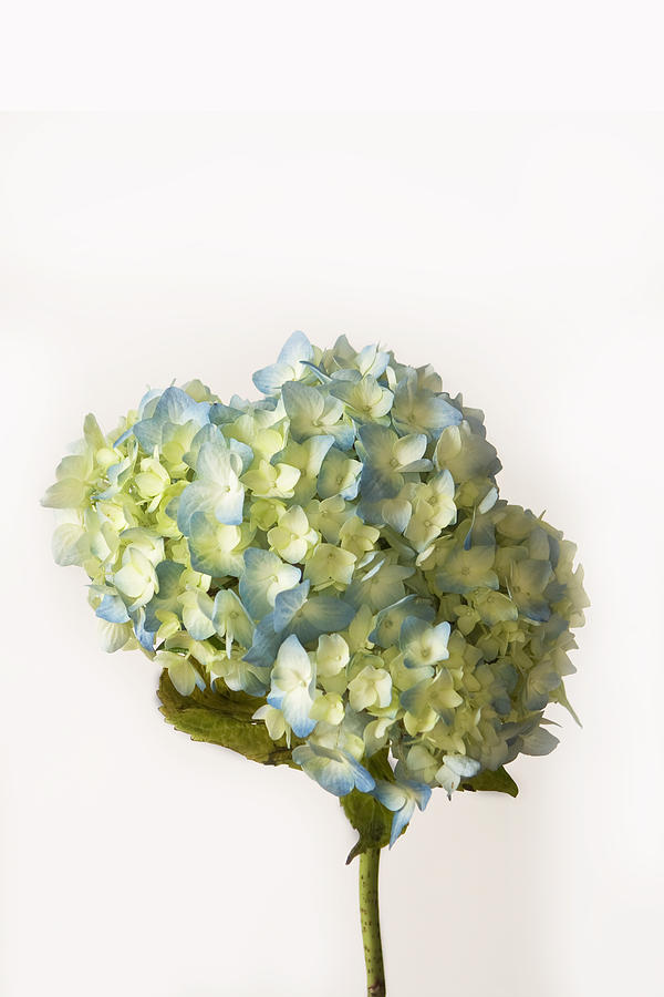 White Background Photograph - Blue Hydrangea Spray by Cheryl Day