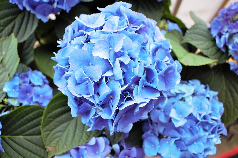 Blue Photograph - Blue Hydrangea by Tracy Smith