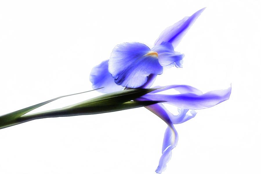 Blue Iris For Irma by Beth Akerman