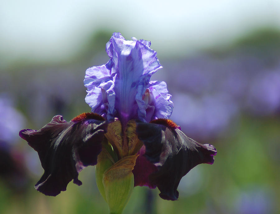 Flower Photograph - Blue Iris by Scott Gould