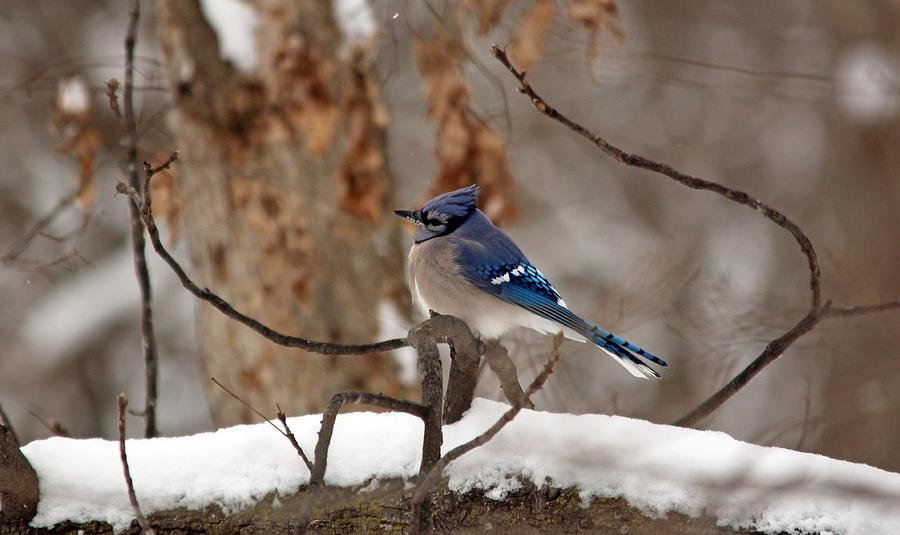 Blue Jay 8 by Jamie  Smith