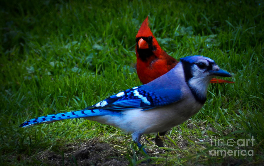 Blue Jay And The Cardinal Photograph By Carol A Commins
