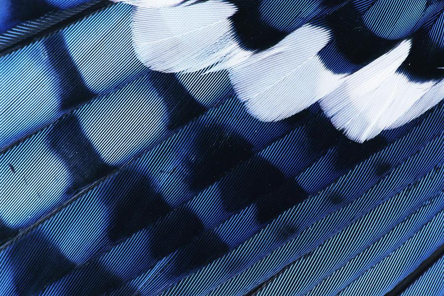 Npl Photograph - Blue Jay Cyanocitta Cristata Feathers by Rolf Nussbaumer