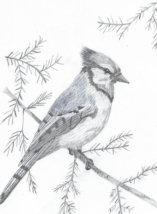 Blue Jay Drawing By DebiJeen Pencils