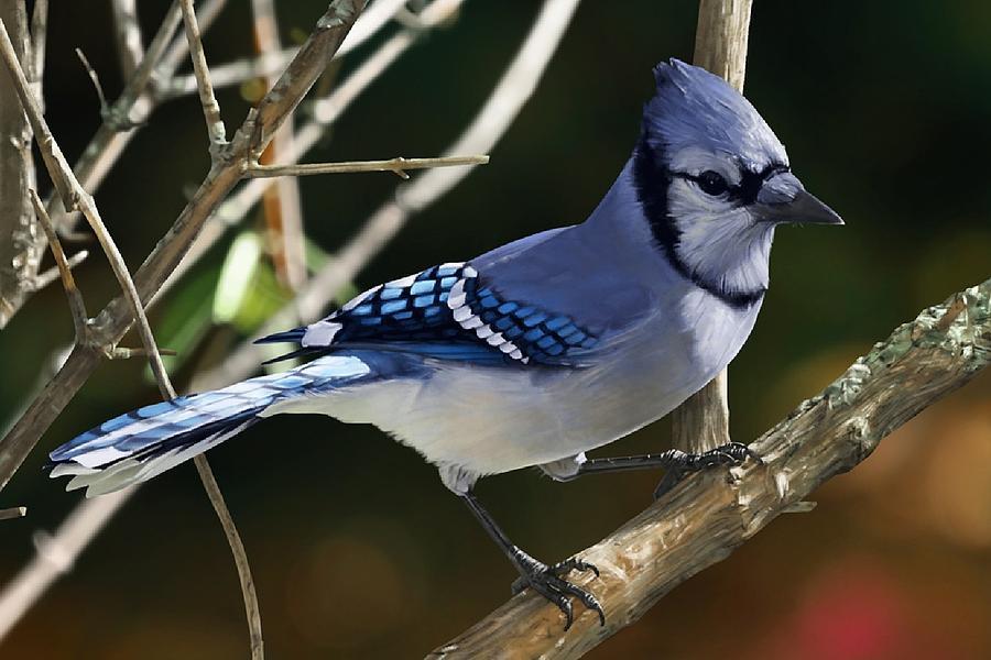 Blue Jay Digital Art - Blue Jay by Dorothy Binder