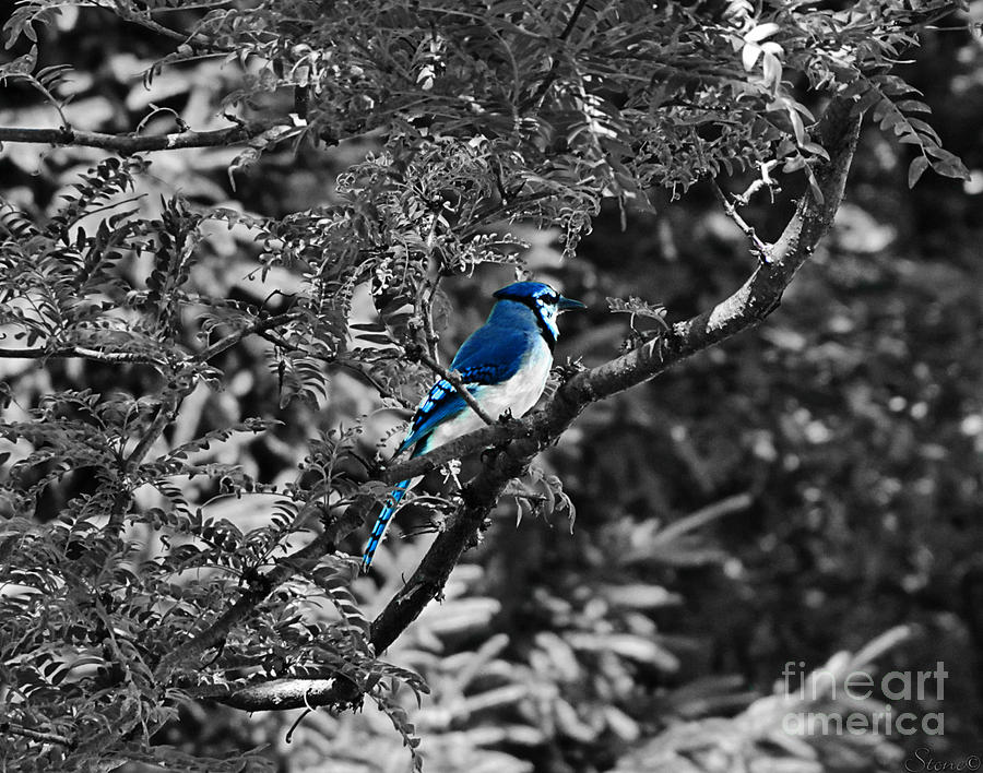 Blue Jay Photograph - Blue Jay by September  Stone
