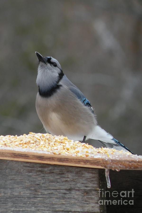 Blue Jay Feeding by Joanne Young
