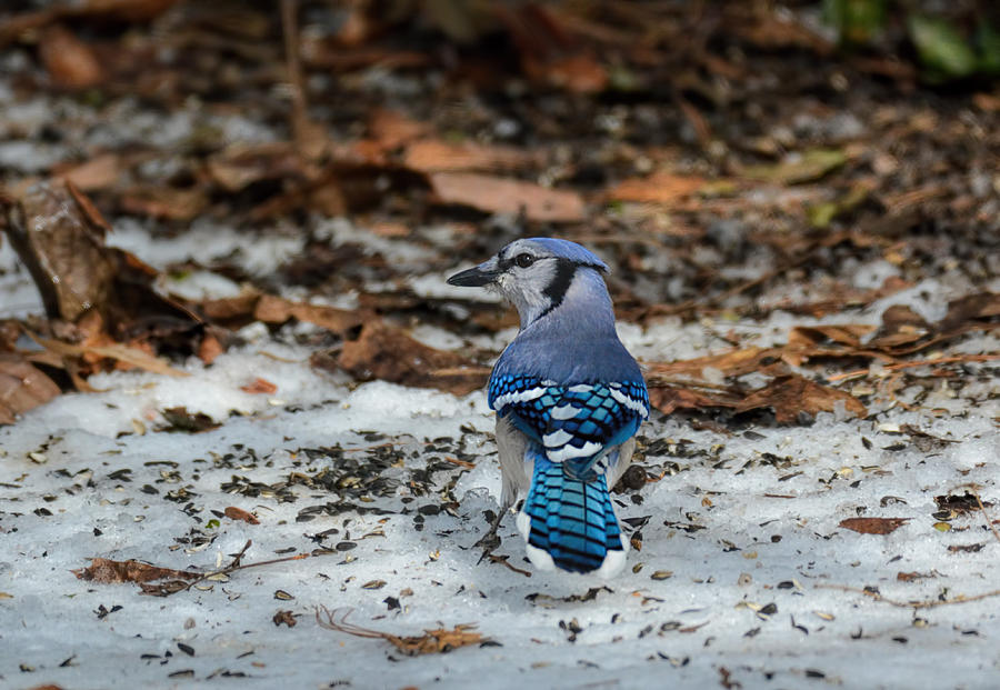 Blue Jay In The Snow 714104252015 Photograph