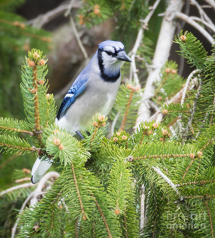 Canon Photograph - Blue Jay in the Spring by Ricky L Jones