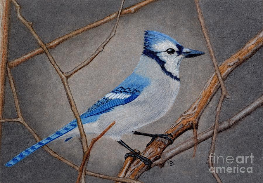 Bird Drawing - Blue Jay In Thicket by Sherry Goeben