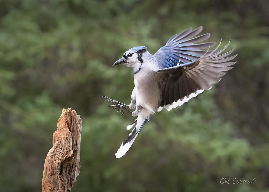 blue jay landing photograph by cr courson