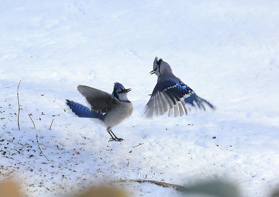 Blue Jay Love by PJQandFriends Photography
