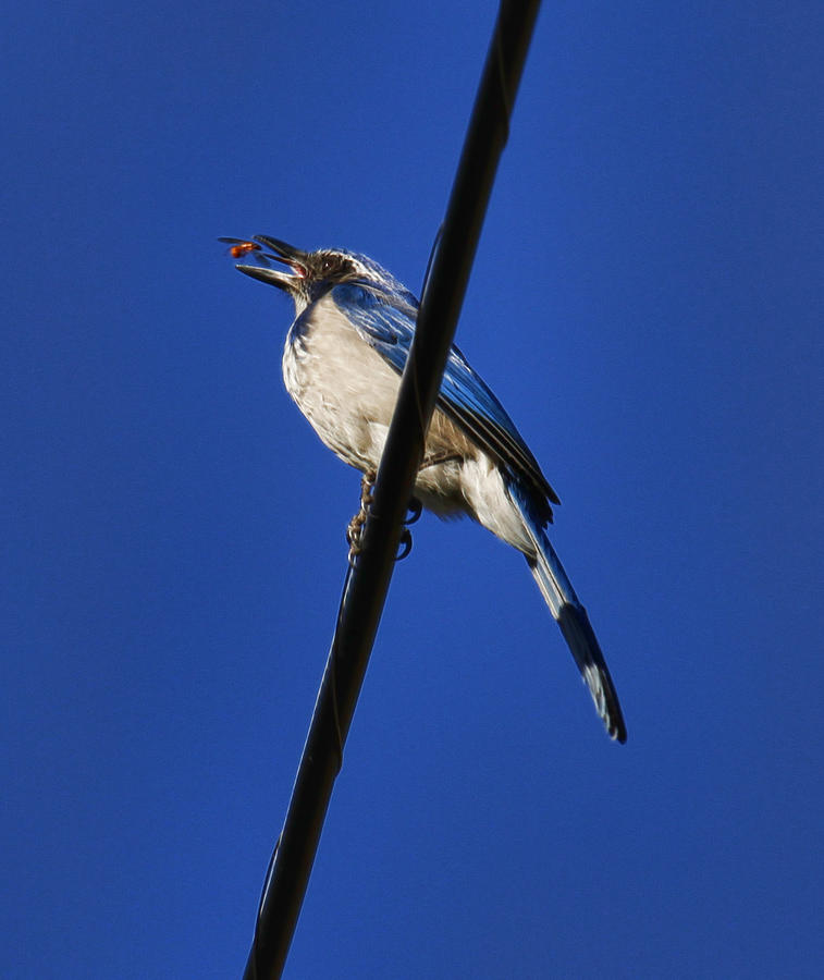 Blue Jay Photograph - Blue Jay Meal Time by Steve McKinzie