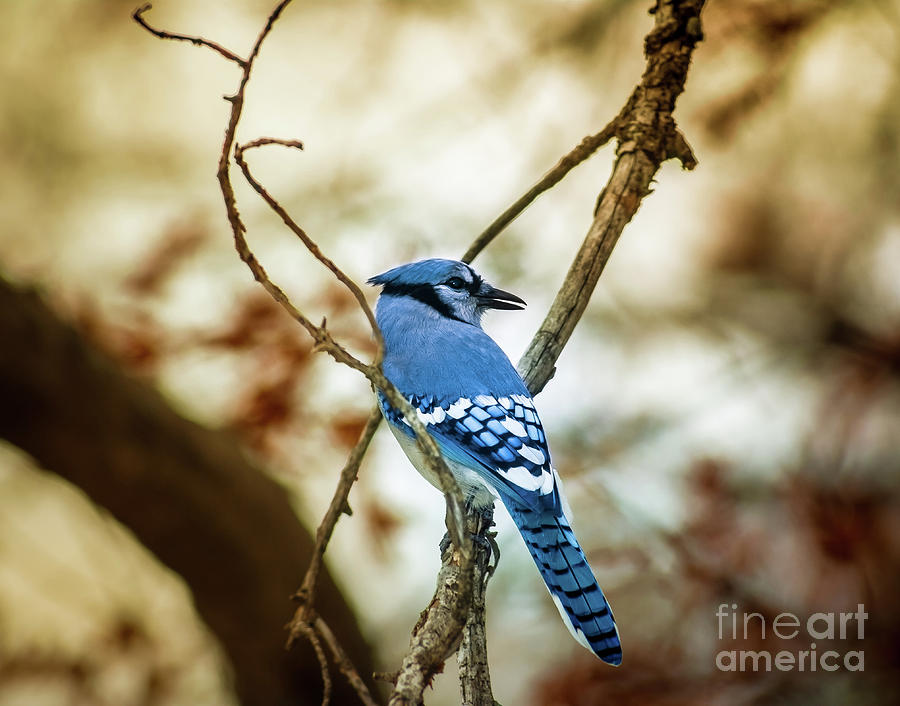 Nature Photograph - Blue Jay by Robert Frederick